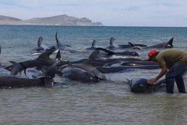 24 ballenas muertas en una playa al norte de México