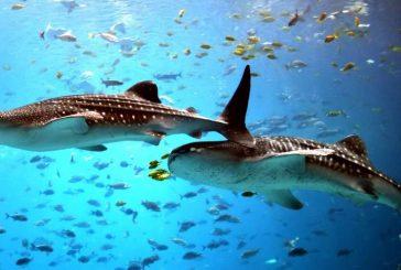 El tiburón ballena que llegó a las costas de Higuerote