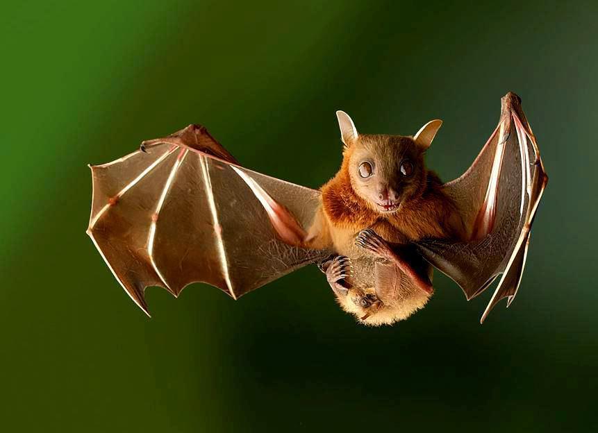 Aseguran que no hay plaga de murciélagos en Chile