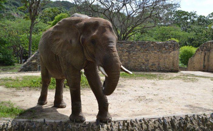"""Denuncian que elefante """"Ruperta"""" del Zoológico de Caricuao está desnutrida"""