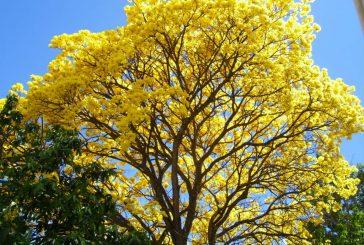 El Araguaney cumple 69 años como el Árbol Nacional de Venezuela