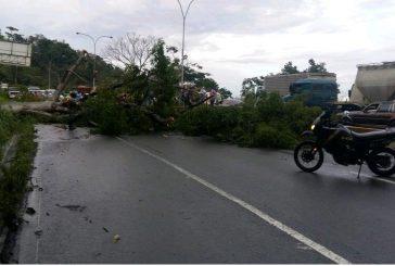 Fallece motorizado aplastado por árbol