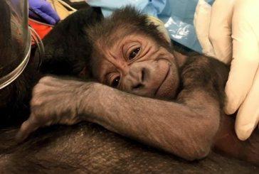 Mamá gorila dio a luz con ayuda de ginecobstetras en zoológico de Filadelfia (VIDEO)