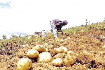 Fedenaga: Tenemos el 26% de maíz que se necesita en 2018