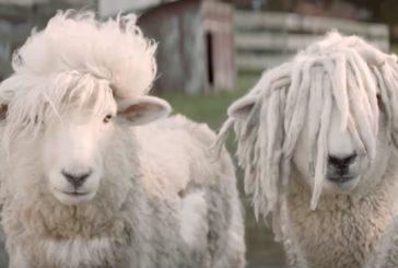 Dos ovejas muy alborotadas se sueltan el moño en este spot neozelandés